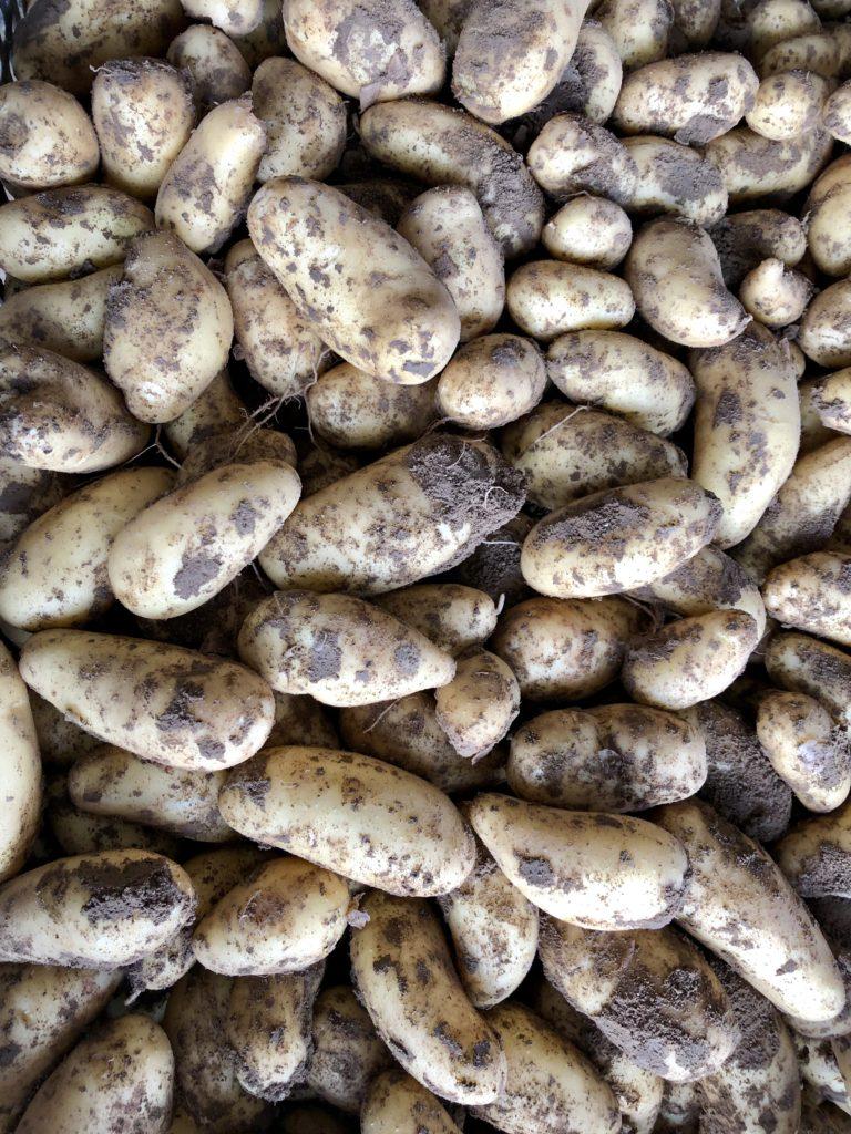 Frühkartoffeln-Werderhof-Annabelle